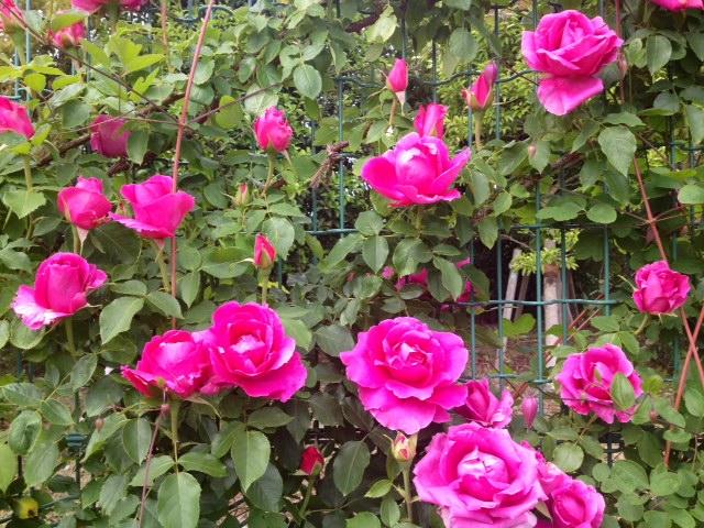 平塚の花菜ガーデンへ