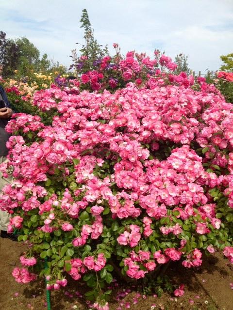花菜ガーデン3