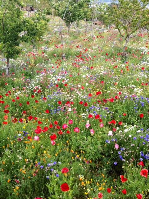 花菜ガーデン4