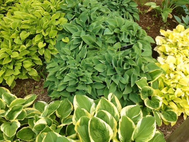 花菜ガーデン6〜ギボウシのグリーン〜